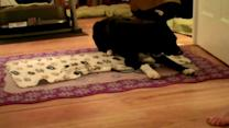 Dog vs. Dog: Collie Wraps Himself Up in Blanket