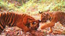 Rare tiger cubs play in endangered forest