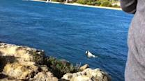 Dog Swims with Dolphins and Pelican