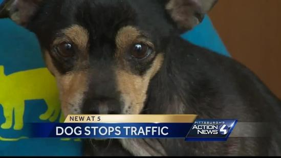 Chihuahua found in Fort Pitt Tunnel