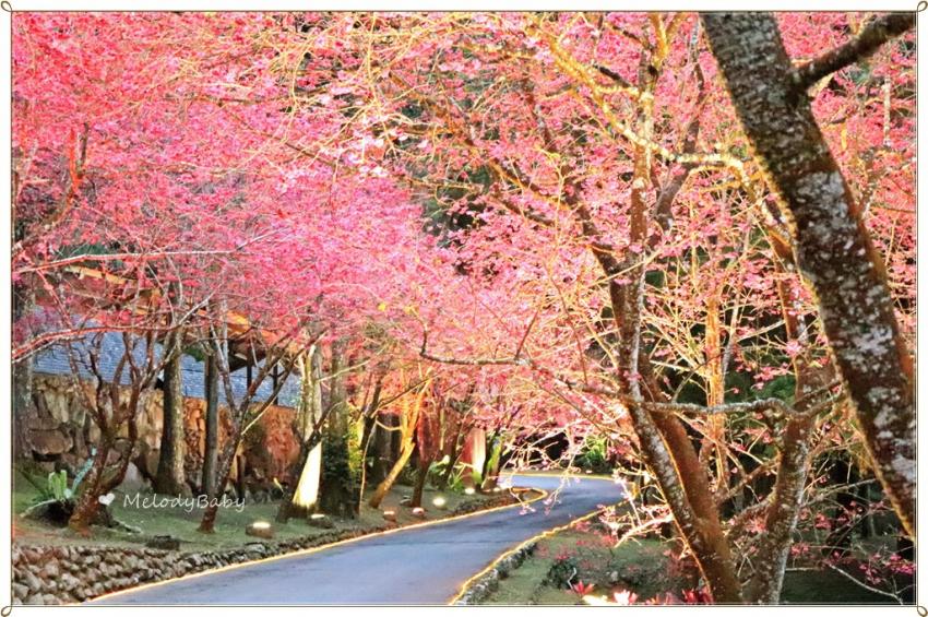 九族櫻花祭 (20).JPG
