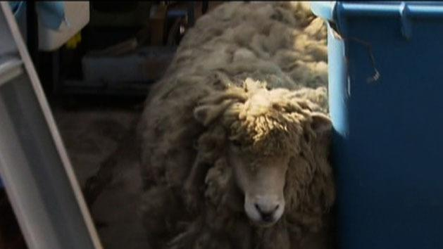 Man loses fight to keep sheep