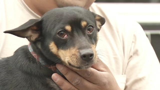 Chihuahua Mix Halts Mail Delivery to Iowa Neighborhood