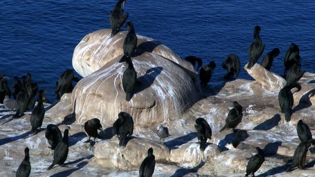 Waterfowls making the air foul in Cali beach town