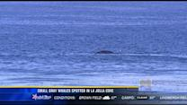 Small gray whales spotted in La Jolla Cove