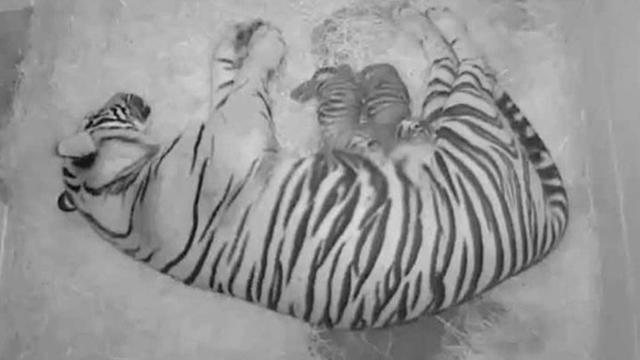 Sumatran tiger cubs born at the National Zoo