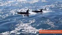 Orca Parade Puts on a Show for Galiano Island Residents