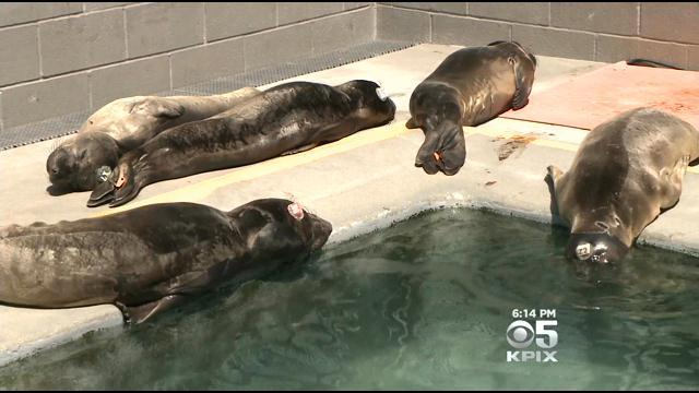 Marine Mammal Center Dealing With Record Number Of Seals, Sea Lions