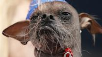 The World's Ugliest Dog Competition