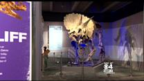 Museum Of Science Starts Campaign To Keep Triceratops