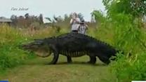 Massive Alligator Spotted at Nature Preserve