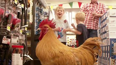 Rooster at Top of Hardware Store's Pecking Order