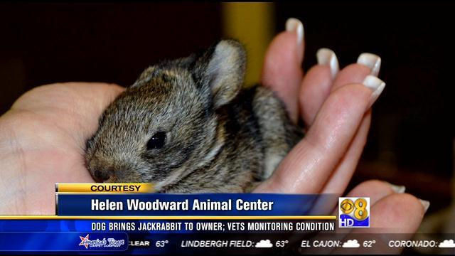 Dog brings baby jackrabbit to owner; vets monitoring condition