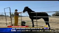 Animal Services workers helping livestock in fire zone