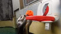 Raw: Sea Otter Plays Basketball