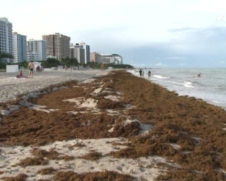 Sargassum seaweed invading Caribbean and Gulf beaches is