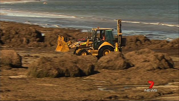 Big machines tackle seagrass at Glenelg