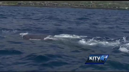 Big Island students get an up close Humpback Whale encounter