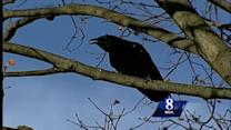 What do black crows eat?