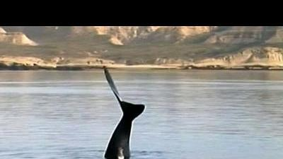 Whales arrive in Argentina