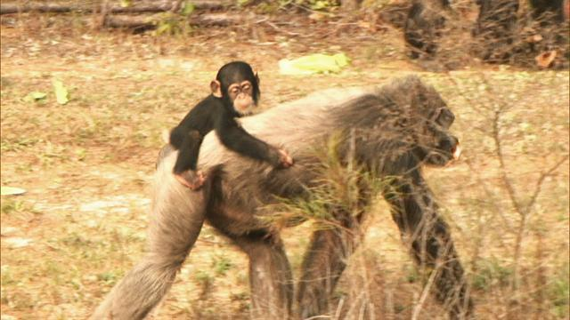 Group: Retire government-owned research chimps
