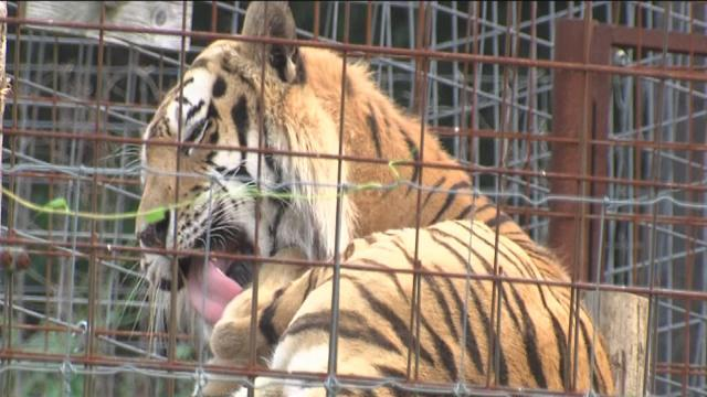 Indiana woman in critical condition after tiger attack