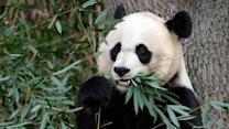 Raw Video: Giant panda cub at National Zoo dies