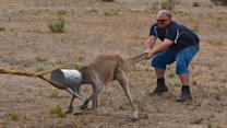 Men Help Kangaroo With Can On Its Head