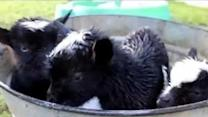 Goat Triplets Enjoy Their Very First Bubble Bath