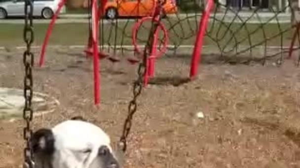 Bulldog Chills at the Park in Baby Swing Seat