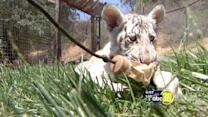 Therapy in the form of a baby tiger