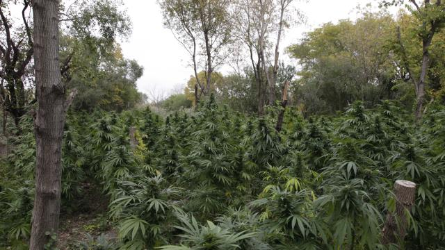 Police: Pot plants found in Chicago