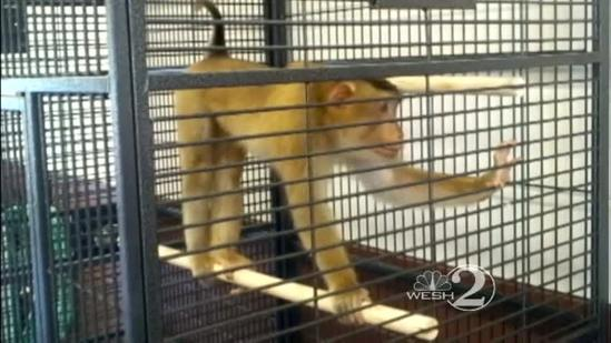 Escaped monkey caught in Sanford