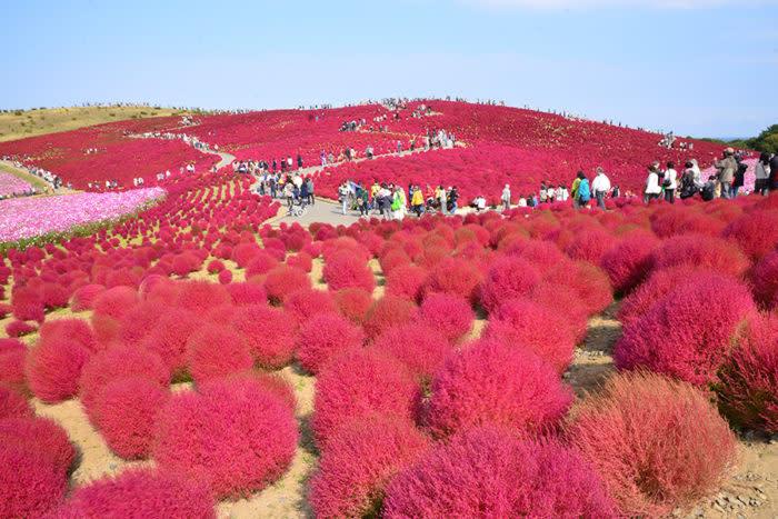 掃帚草in日立海濱公園
