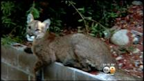 Mountain Lion Fatally Shot By Sheriff's Deputies In Rancho Cucamonga