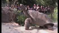 Rare giant tortoises at The Bronx Zoo