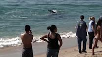 Baby gray whale hangs out near shore in OC