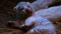 Ultra-rare White Tiger Cubs