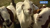 'Green' goats help Vt. school land national recognition