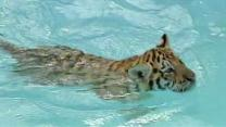 Fla. zoo offers chance to swim with tiger cub