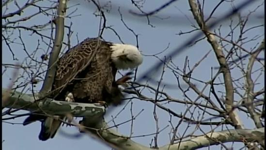 Where are you likely to spot a bald eagle?