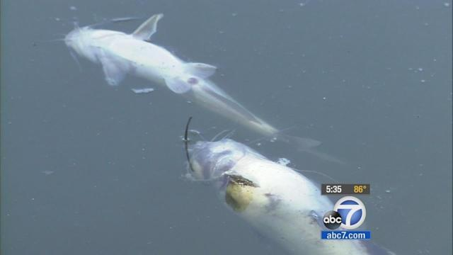 Fish dying mysteriously in Lake Menifee