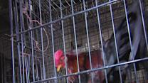 Roosters in fighting ring moved to Ravenna animal sanctuary