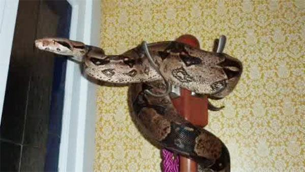 Missing Swarthmore snake finally found