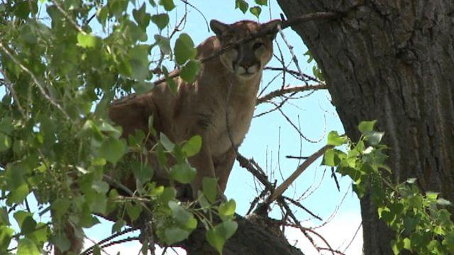 Mountain lion spotted in a tree