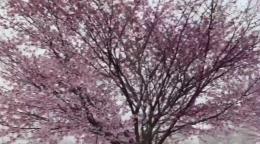 Snowflakes Swirl Around Cherry Blossom Trees In Pittsburgh