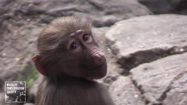 Young baboon siblings learn crucial life skills while roughhousing
