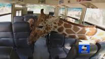 Giraffes Surprise Safari Park Visitor
