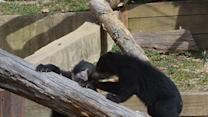 Raw: Andean Bear Cubs Debut at National Zoo