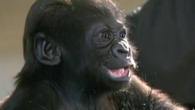 Orphaned Gorilla Adopted by New Mom